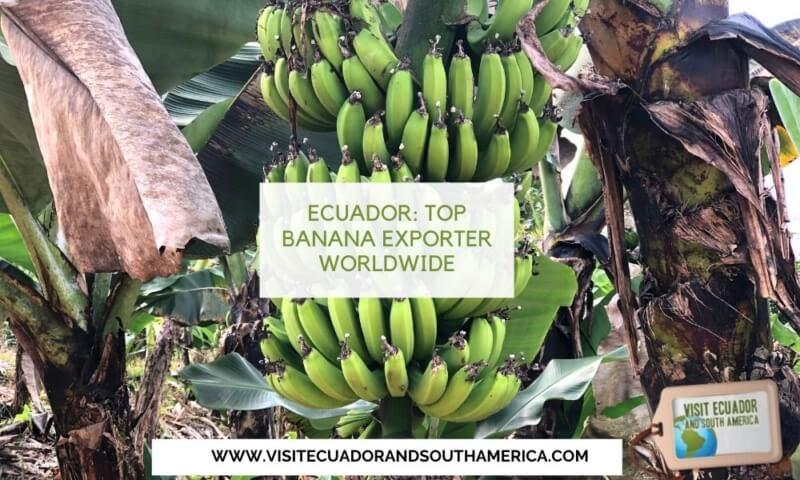ecuador-top-banana-exporter-worldwide
