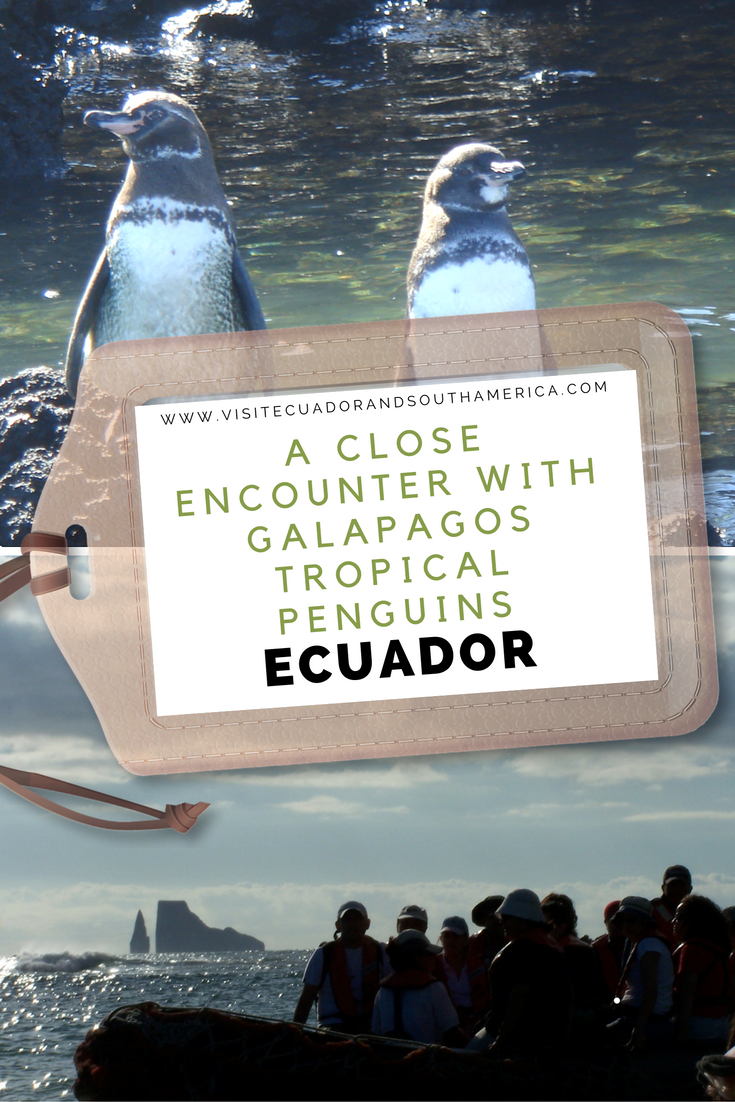 galapagos-tropical-penguins-ecuador
