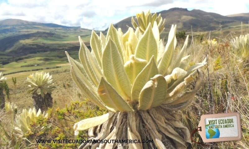 Polylepis Lodge El Angel Ecological reserve Ecuador