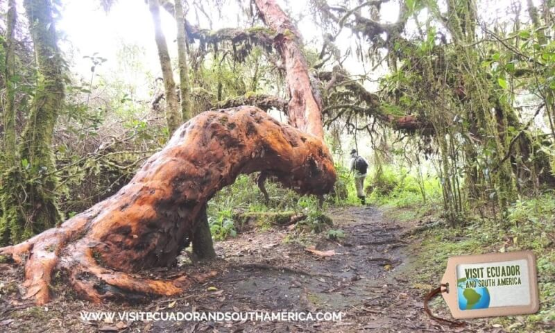 Polylepis Lodge El Angel Ecological reserve Ecuador (14)