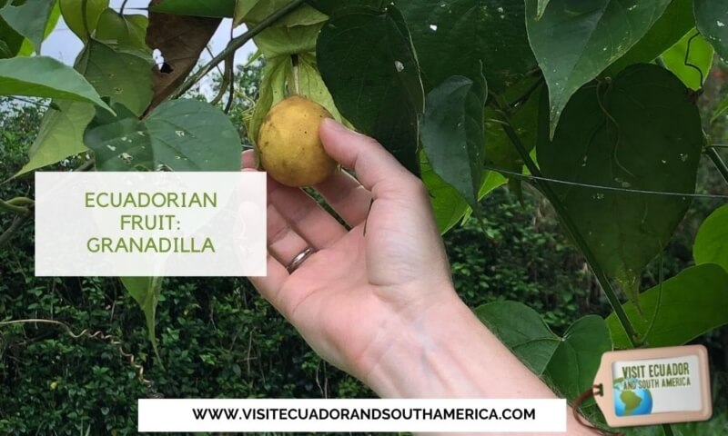 Ecuadorian fruit Ecuador Must East Granadilla (3)