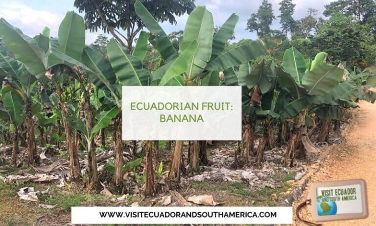 banana Ecuador Ecuadorian fruit (3)