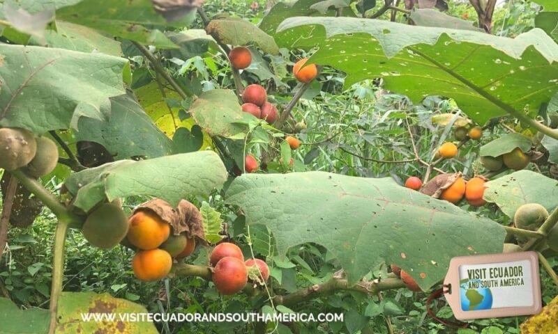 naranjilla ecuadorian fruit ecuador fruits (8)